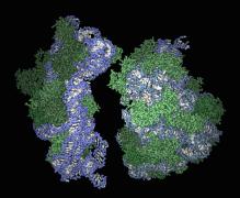 r ribosome